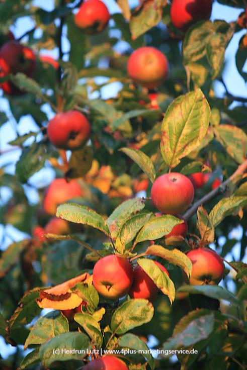 Reife Äpfel, im Abendlicht, Spätsommer