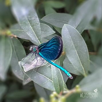 Blauflügel Prachtlibelle, Libellenart, blaue Libelle, © wildpepeprmint-design.de