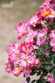 einfache Rose, © wildpeppermint-design.de