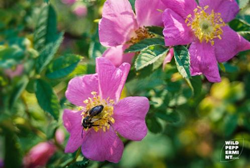 Wildrose mit Wildbiene, © wildpeppermint-design.de